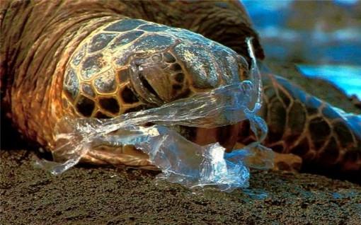 penyu ini mengira sampah plastik sebagai makanan