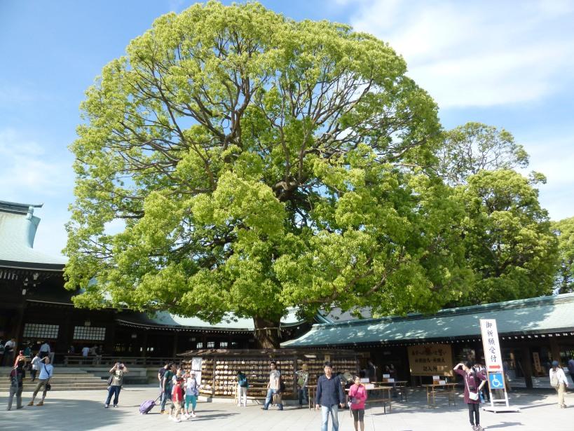 P1020858 Meiji Jingu tree