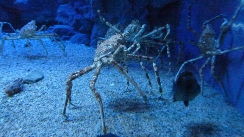 Osaka kaiyukan crab