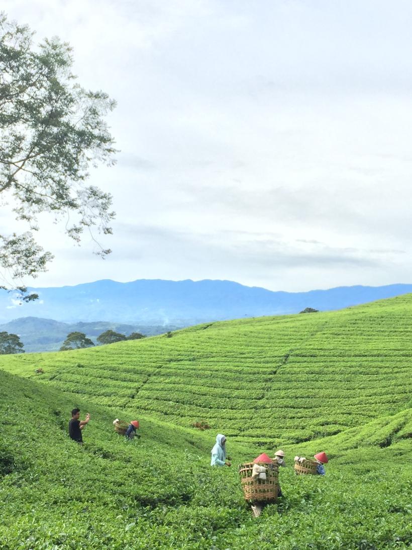tea pagar alam IMG_2300