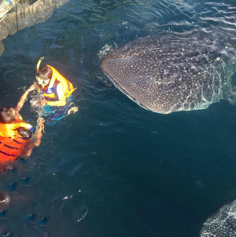 Nabire hiu paus sabai1
