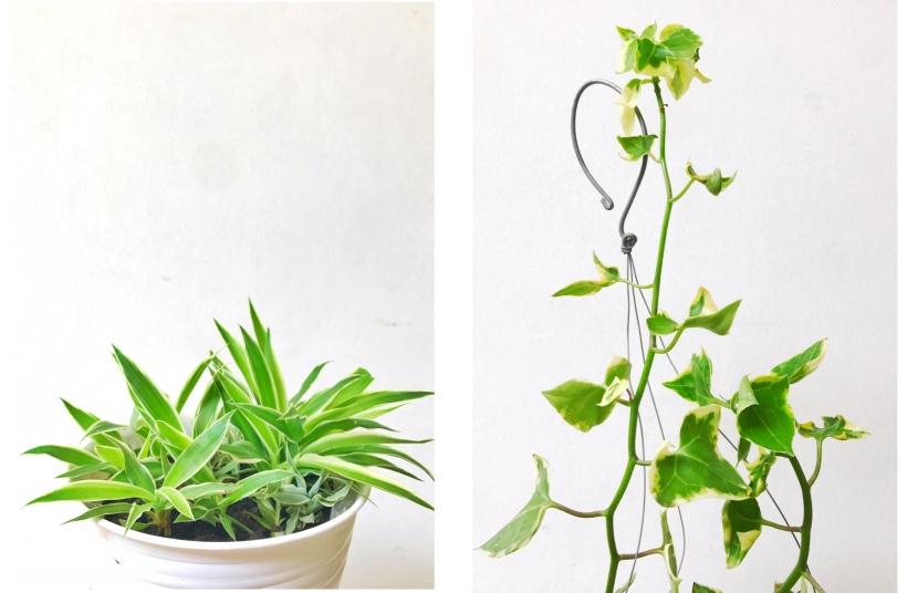 spider plant english ivy