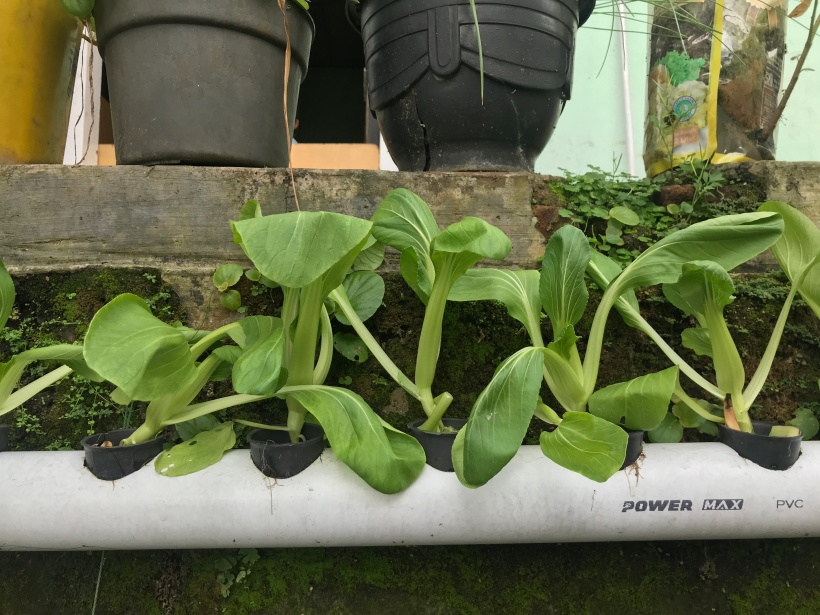 Sayur Hidroponik